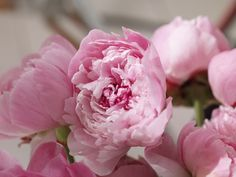 Peonies have been grown for their healing properties for more than two thousand yearsas if their glorious blooms, heavenly scent, lush foliage, and low maintenance werent reason enough.