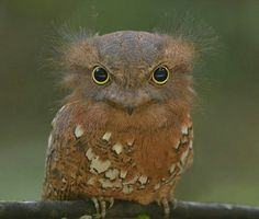 Frog mouth owl