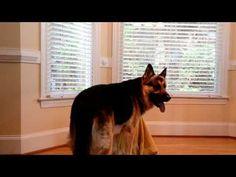 Este perro se escapaba constantemente, hasta que pusieron una cámara y descubrieron el porqué - http://dominiomundial.com/este-perro-se-escapaba-constantemente-hasta-que-pusieron-una-camara-y-descubrieron-el-porque/
