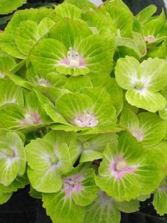 """Hydrangea """"Green Cloud"""". Perfect for cutting, billowing clouds of bright celery-green blossoms will last in a vase for over a month.   From the Everlasting®️ Series, this shrub features sturdy foliage & long-lasting mophead blooms with strong stems.  Hydrangea Green Cloud blooms on old & new wood to extend bloom time."""