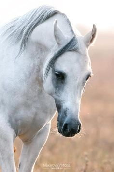Splendid Looking White Arabian.