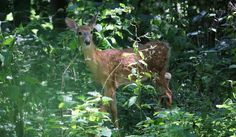 Mama deer brought her two sweet, spotted fawns by today. ♡ #BackyardHabitat #deer #naturephotography #wildlifephotography