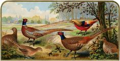 Vintage Pheasants Image - Nice for Fall Projects! - The Graphics Fairy