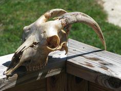 goat skull Wonderland