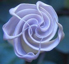 Organic Heirloom 150 Seeds Blue Angel Trumpet Datura Rare Exotic Fragrant Night Flower Bulk Seeds B0019, $1.79