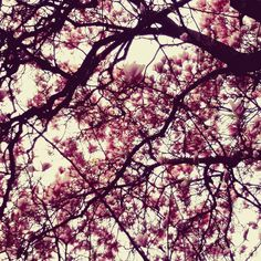 YoYo atelier | Una nuvola rosa sopra di me #primavera #magnolia #nuvola #fiori #rosa #rami #conilnasoallinsu #cielo #varese #italy . #springiscoming #springisintheair #pink #cloud #flowers #sky #pickoftheday