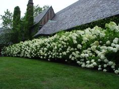 This hedge of Limelights is three staggered rows, planted 30 inches apart; it has been pruned lightly.  Limelight hydrangeas are a hybrid of white blooming hydrangeas. Most of the pruning is done on the top branches, so the side branches still get enough light to flower.  // Great Gardens & Ideas //
