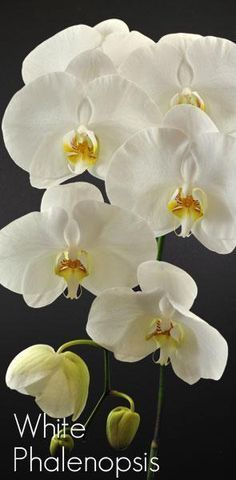 Fresh Cut Orchids Phalaenopsis Butterfly White
