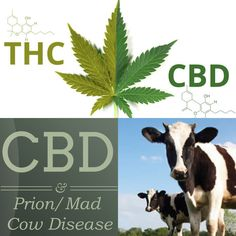 #Cannabidiol has been shown to halt #prions, the proteins that cause neurodegenerative diseases like Creutzfeldt-Jakob disease and mad cow.