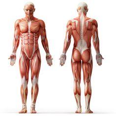 human-muscle-anatomy.jpg 1,000×1,000 pixels