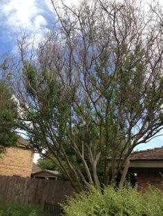 Pruning Cold-Damaged Crape Myrtles