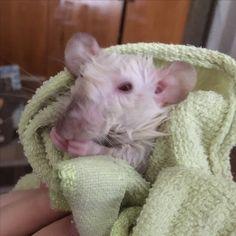 18.06 Wet rat