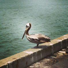Pelican in San Francisco