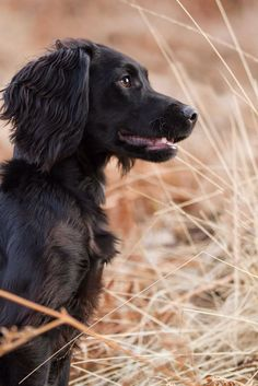 "Exceptional ""cocker spaniel"" information is offered on our website. Check it out and you wont be sorry you did. Spaniel Breeds, Spaniel Puppies, Dog Breeds, Black Cocker Spaniel, English Cocker Spaniel, Springer Spaniel, Pet Dogs, Dogs And Puppies, Dog Cat"