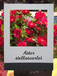 ヒメアスター(ステラスカーレット)#flower #shop #matilda #中目黒