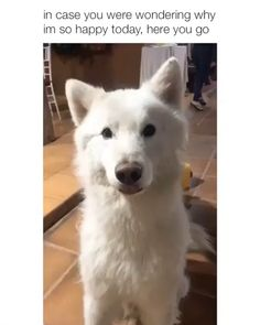These funny videos of funny dogs will make you laugh. Hope you enjoy these funny dog videos. This funny dogs compilation doesn't include funny dog vines. Funny Dog Memes, Funny Dog Videos, Funny Animal Memes, Cute Funny Animals, Funny Animal Pictures, Cute Baby Animals, Funny Dogs, Funny Cute, Funny Pet Quotes