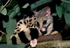 The Owston's palm civet is a mid-sized palm civet at 23 inches long, and also has a 17 inch long tail. It's got a greyish body that also sports black spots on it's back and tail. They usually only have four bands of color on their tails. They live in northern Vietnam, Northern Laos and Southern China