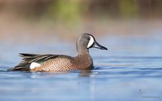Blue-winged Teal by Joshua Clark - Photo 105045989 / 500px