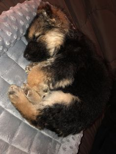 GSD Puppy( oh so so cute in the land of Dreams.this little guy or gal has just made me want one of these! Gsd Puppies, Cute Dogs And Puppies, Baby Puppies, I Love Dogs, Doggies, Baby Animals Pictures, Puppy Pictures, Jagodibuja Comics, German Shepherd Puppies
