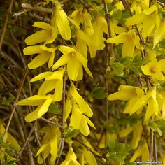 Kumson Forsythia is unique because it has three seasons of color. In the spring it produces golden yellow blooms, in summer it grows green foliage with silvery veins and then in the winter when the foliage drops deep purple branches show. Kumson can reach up to 6-8 feet tall and will require seasonal shaping. Its deer resistant and prefers full sun to partial sun to thrive. (Forsythia viridissima koreana)