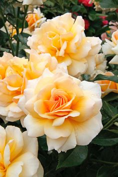 Floribunda rose 'Angie', Paul Chessum, 2005