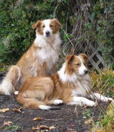 English Shepherd / Farm Collie Dog