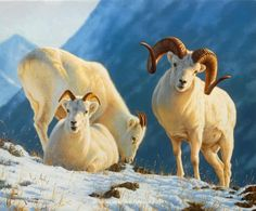Dall sheep ~ Warm Winter's Day by Tom Mansanarez