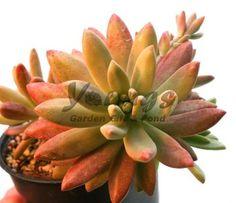 Graptosedum Darley Sunshine   Succulent Plants for Sale
