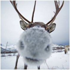 Nosey Wild Thing Reindeer and Snow Nose Cute Creatures, Beautiful Creatures, Animals Beautiful, Funny Animals, Cute Animals, Mundo Animal, Tier Fotos, Belle Photo, Animal Kingdom