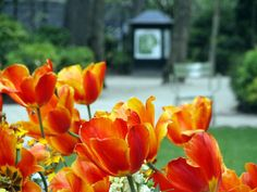 I would love to see the tulips in Paris again!