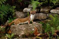 Stoats and weasels are both small, brown, fast and ferocious mustelids with sinuous bodies and short legs. So how do you tell the difference? Zoo Animals, Cute Animals, Animals Planet, Wild Kratts, Save The Elephants, British Wildlife, Wild Creatures, Endangered Species, Nature Pictures