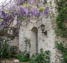 """In Autumn/winter, prune wisteria vigorously - side shoots to 3"""" from main branch."""