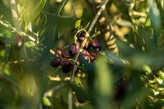 Der nördlichste Olivenhain Europas – Olivenöl vom 51. Breitengrad Front Row, The Row, Europe, Plant Parts, Greek Islands, Greece