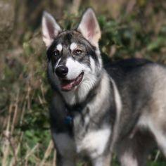 Me looking handsome  #northerninuit #handsome #husky #germanshepherd #gsd #pup #pooch #puppy #puppypalace #puppiesofinstagram #followme #followback #dog #doggy #dogdaily #doglover #dogsofinstagram #wolf #wolfdog #welovepets #blueeye #instadog #Padgram