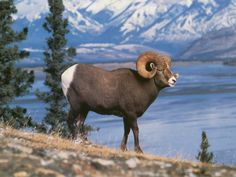+fighting rocky mountain big horn sheep | fast five wallpaper: These Mountain Sheep