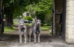 Robin Gibbs of The BeeGees beloved Wolfhounds Ollie & Missy helping to lead him out at his funeral procession.
