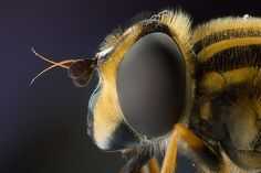 European hoverfly in profile