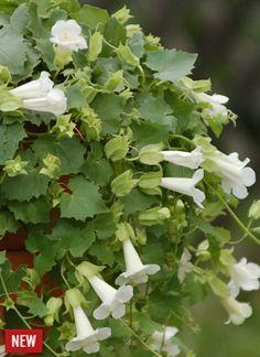 Lofos Compact White   The Suntory Collection for Gardeners