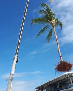 #traveltuesday shoutout to the regional projects our team has travel to recently! Our team has just wrapped up at Rockhampton Riverbank and is now all hands on deck at Yeppoon Foreshore & Town Centre.  Check out this amazing photo our team in Yeppoon has taken when we transported and transplanted large mature ex-ground palm trees in 20 knot winds!  Thank you to @woollamconstructions and landscape architects @placedesigngroup For having our team on board this project…