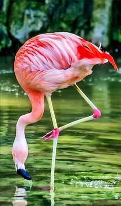 Flamingo Art Print featuring the photograph Pretty Pink Flamingo by Anthony Murphy Pretty Birds, Beautiful Birds, Animals Beautiful, Pretty In Pink, Beautiful Swan, Flamingo Photo, Flamingo Art, Pink Flamingos, Exotic Birds