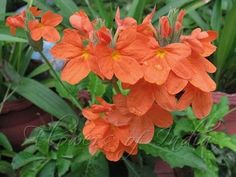 Maworld: Common name: Crossandra, Firecracker Flower