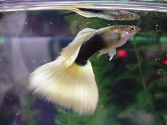 black Pastel guppy  The Half Black Pastel has the half black body with any pastel solid colored tail except for yellow.