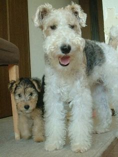 Wir Fox Terrier and apprentice Lakeland Terrier puppy. Both beautiful dogs. Perro Fox Terrier, Wirehaired Fox Terrier, Pitbull Terrier, Wire Fox Terriers, Welsh Terrier, White Terrier, Terrier Dogs, Terrier Mix, Beautiful Dogs