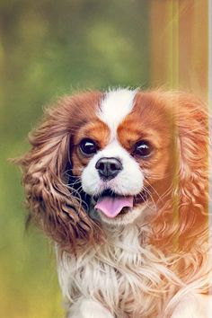 The Cavalier in several means fits the bill as a perfect house family pet. He is pleasant, gentle, playful, going to please, affectionate, and also quiet. He similarly appreciates sharing time on the sofa or on a walk. He neither digs nor barks excessively. He is amiable toward other dogs, family pets, as well as complete strangers. Outdoors, his spaniel heritage kicks in, and also he loves to check out, smell, as well as chase. It Is Possible To Teach Your Dog To Obey Your Commands There is not King Charles Puppy, Cavalier King Charles Dog, King Charles Spaniel, Pet Dogs, Pets, Baby Puppies, Dog Care, Dog Training