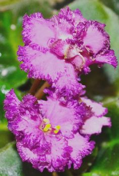 This is a semi miniature variety known as Robs Hopscotch.The plant was hybridized by R. Flora Flowers, Types Of Flowers, Exotic Flowers, Amazing Flowers, Beautiful Flowers, Perennial Flowering Plants, Herbaceous Perennials, Saintpaulia, Inside Plants