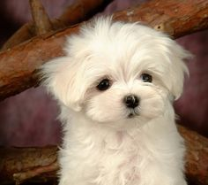 Maltese dogs make the worst type of pets. Puppies And Kitties, Teacup Puppies, Cute Puppies, Cute Dogs, Doggies, Teacup Maltese, Poodle Puppies, Beautiful Dogs, Animals Beautiful