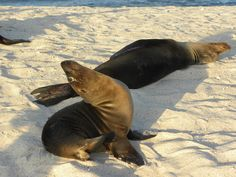 Sea lions demonstrating yoga poses in the Galapagos