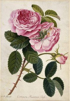 Fitzwilliam Museum Collections Explorer - Common Provence Rose Ehret, Georg Dionysius; draughtsman; German artist, 1708-1770
