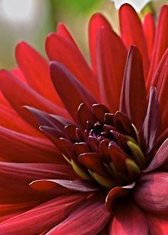 Thick color dahlia | Flickr –