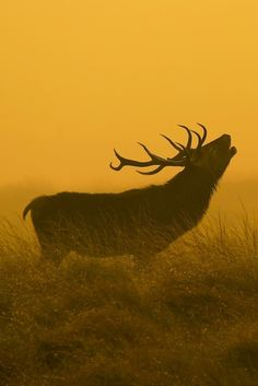 Look at the bigger picture — 0ce4n-g0d: Red Deer Stag | james morris